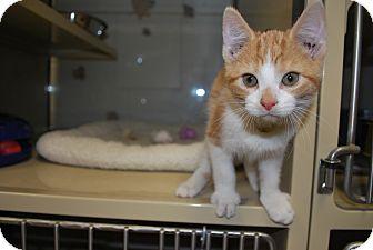 Domestic Shorthair Kitten for adoption in New Castle, Pennsylvania - Schmidt