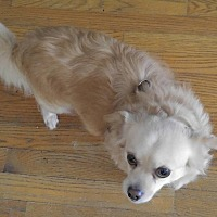 Adopt A Pet :: Cream male Chi - Matthews, NC