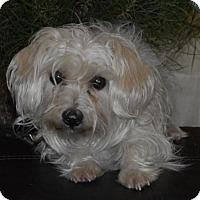 Adopt A Pet :: Noel - Las Vegas, NV