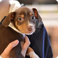 Adopt A Pet :: Chardonnay - Wine Litter - Acworth, GA