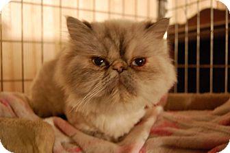 Himalayan Cat for adoption in Minot, North Dakota - Aspen