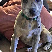 Adopt A Pet :: Peppermint Patty - Troy, MI