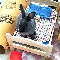 Adopt A Pet :: Liesl Von Trapp - Chicago, IL
