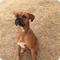 Adopt A Pet :: Penny - oklahoma city, OK