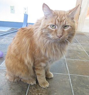 Domestic Longhair Cat for adoption in Ridgway, Colorado - Clementine