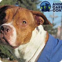 Adopt A Pet :: Hoss - St. Louis, MO