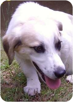 Magoo | Adopted Puppy | Danbury, CT | Basset Hound/Jack ...