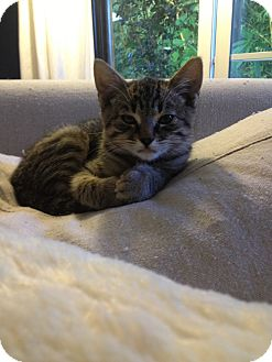 Polydactyl/Hemingway Kitten for adoption in Los Angeles, California - Ernest- baby Hemingway kitten