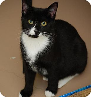Domestic Shorthair Cat for adoption in Bensalem, Pennsylvania - Buster