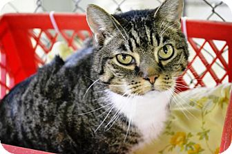 Domestic Shorthair Cat for adoption in East Smithfield, Pennsylvania - Jay