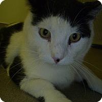 Domestic Shorthair Cat for adoption in Hamburg, New York - George