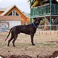 Adopt A Pet :: Cedar - Las Vegas, NV