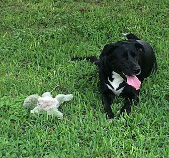 Labrador Retriever Mix Dog for adoption in Houston, Texas - MANDI