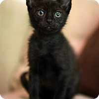Adopt A Pet :: Licorice - N. Billerica, MA