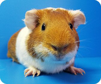 Guinea Pig for adoption in Lewisville, Texas - Hilary