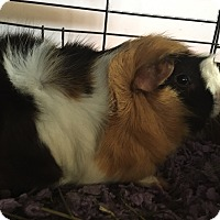 Guinea Pig for adoption in Baltimore, Maryland - Chewie