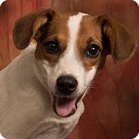 Adopt A Pet :: Eve Border Beagle - St. Louis, MO