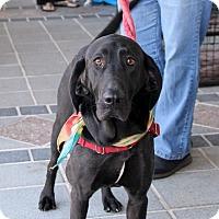 Labrador Retriever/Coonhound Mix Dog for adoption in Richmond, Virginia - Molly