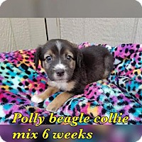 Beagle/Border Collie Mix Dog for adoption in Pomfret, Connecticut - POLLY