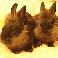 Lionhead Mix for adoption in Hillside, New Jersey - Mom and babies