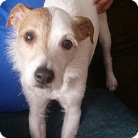 Parson Russell Terrier/Jack Russell Terrier Mix Dog for adoption in Rosemount, Minnesota - Brodie