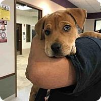 Adopt A Pet :: STONE - Olivette, MO
