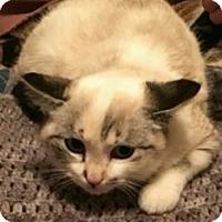 Siamese Kitten for adoption in Forest Lake, Minnesota - Truffle