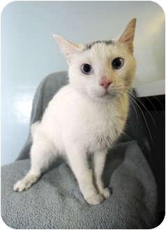 Domestic Shorthair Cat for adoption in New York, New York - Star