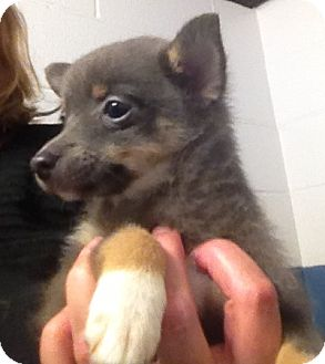 Chihuahua/Pomeranian Mix Puppy for adoption in Richmond, Virginia - Flopsy