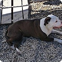 American Staffordshire Terrier Dog for adoption in Big Bend, Wisconsin - Juno