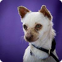Adopt A Pet :: Pumpkin - Anaheim, CA