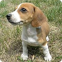 Adopt A Pet :: Minuet - Novi, MI