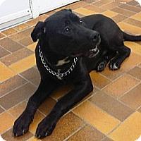 Adopt A Pet :: Luka - Montreal, QC
