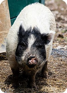Pig (Potbellied) for adoption in Saugerties, New York - Charlotte