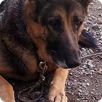 Adopt A Pet :: Kourageous Kramer - Issaquah, WA