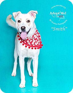 Labrador Retriever/Australian Shepherd Mix Dog for adoption in Houston, Texas - Smith