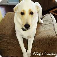 Adopt A Pet :: Trudy Scrumptious - Kyle, TX