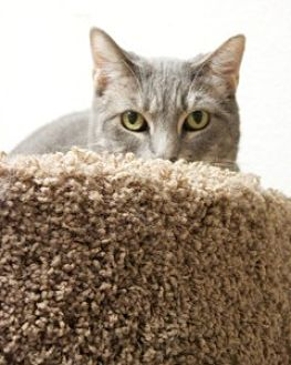 Domestic Shorthair Cat for adoption in Orland, California - Grace