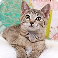 Adopt A Pet :: Seshat - Sterling Heights, MI