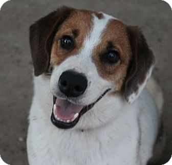 Beagle Mix Dog for adoption in Owasso, Oklahoma - Snoopy