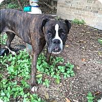 Adopt A Pet :: Harley Quinn - Austin, TX