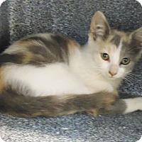 Adopt A Pet :: Newton Kittens (4) - Henderson, NC