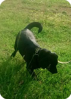 Labrador Retriever Mix Dog for adoption in Centerville, Tennessee - Beau