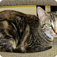 Calico Kitten for adoption in Georgetown, Texas - Dani
