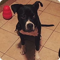 Boxer Mix Puppy for adoption in Bronx, New York - Prince Ali