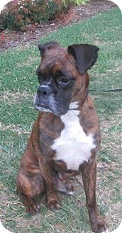 Boxer Dog for adoption in LaGrange, Kentucky - Kimbo