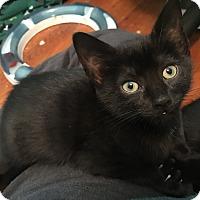 Domestic Shorthair Kitten for adoption in Greensburg, Pennsylvania - Sabrina