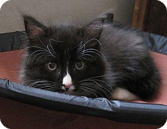 Domestic Longhair Kitten for adoption in N. Billerica, Massachusetts - Thumbelina