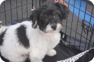Poodle (Toy or Tea Cup)/Shih Tzu Mix Dog for adoption in Mission Viejo, California - ELIZABETH (LIZZI)