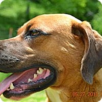 Boxer Mix Dog for adoption in Bakersville, North Carolina - Leo
